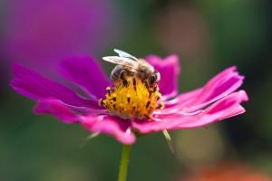 Honigbiene auf  einer Kosmee